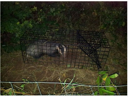 Badger In Trap.jpg